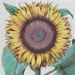 """This is a crop of """"Flos solismaior"""" (1616) which is a Large Sunflower created by Basilius Besler in 1616"""