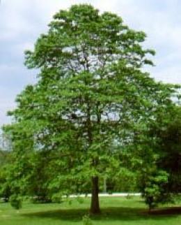 A Sassafras tree