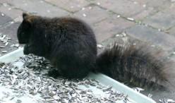 Black Squirrel photos  deedsphotos