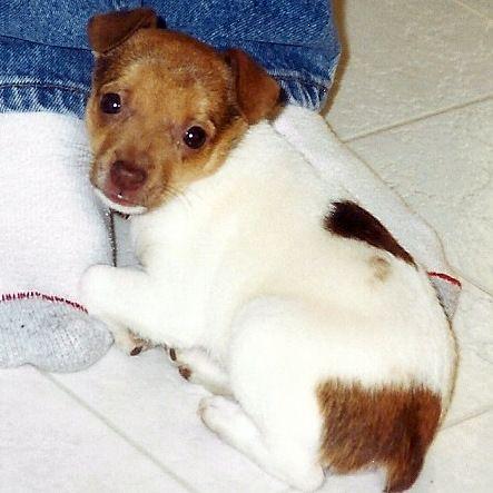 Nala our pet rat terrier puppy