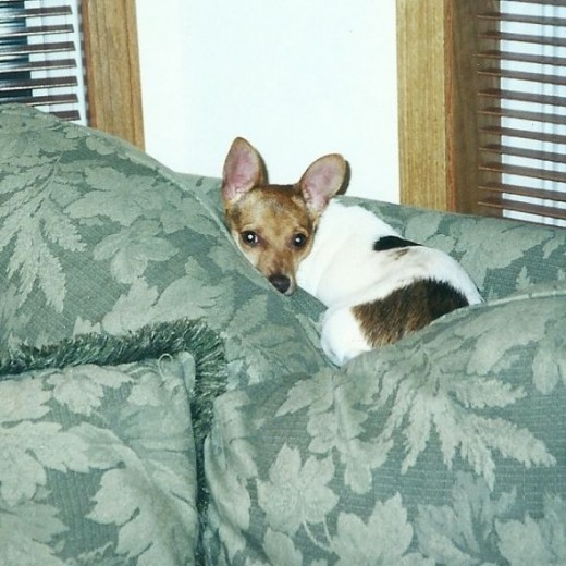 One of Nala's favorite perches, on the couch cushions.  We tried to keep her off the couch.  She was just more persistent in her efforts to get up there once she was big enough.