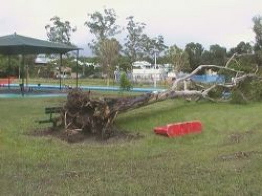 Gum Tree in Greenslopes park blown over