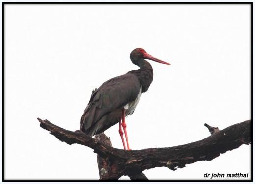 Black Stork Image