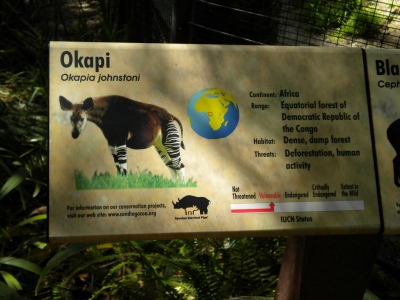Okapi - A ruminant forest mammal of the Congo River basin in Africa