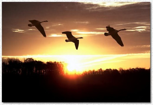 Geese flying in the sunrise.  Found at http://i118.photobucket.com/albums/o82/nate_4603/sunriseb.jpg.