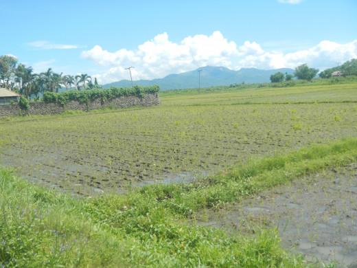 Newly planted rice near the barangay road