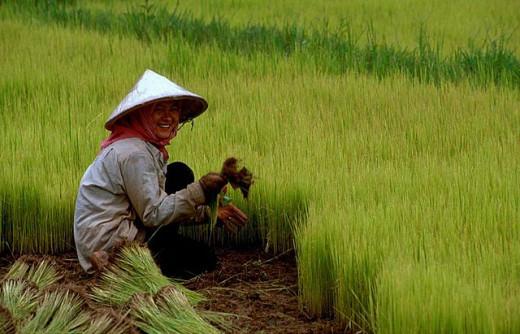 woman farmer in the rice field