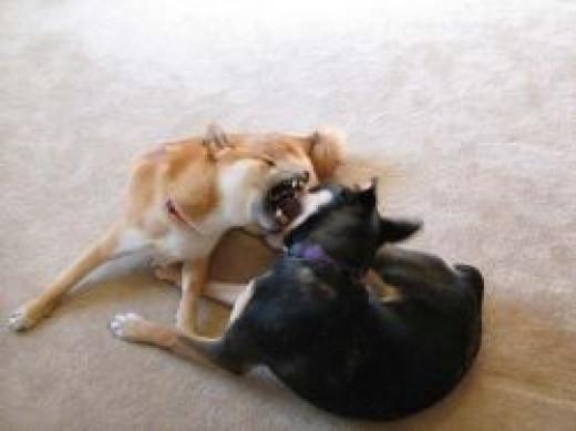 Dog Bite - Stop Dog to Dog Aggression