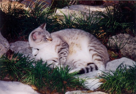 Here I am lying among my people's monkey grass and rocks.  Ahh....this is the life!