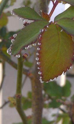 Raindrops on rose leaves.  Photo mine.