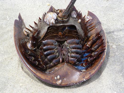 A beached horseshoe crab.