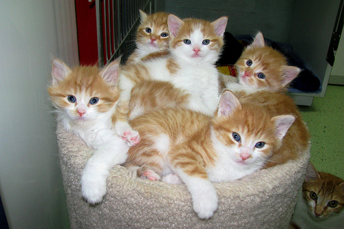 What is more fun than a litter of orange and white kittens?
