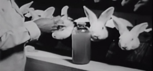 Injecting IV drugs in rabbits.