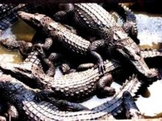 alligators_and_crocodiles
