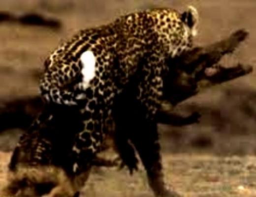 leopard_attacks_crocodile