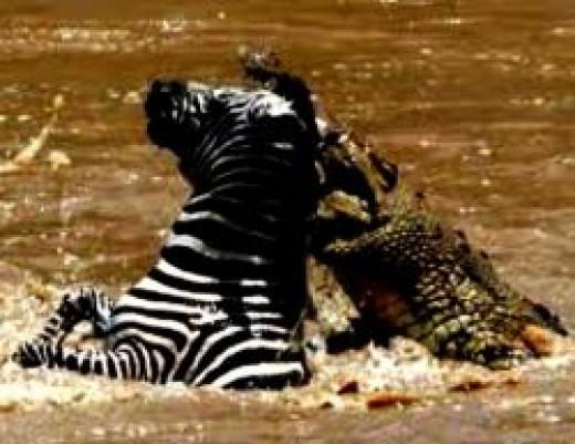 crocodile_eats_zebra