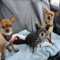 How To Travel With Chihuahuas