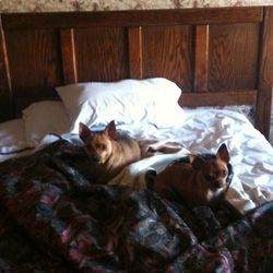 Champ and Louie make themselves at home on the motel bed.