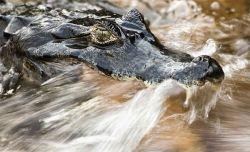 What crocodiles eat.