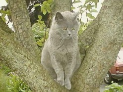 The Blue Chartreuse or British Blue Cat