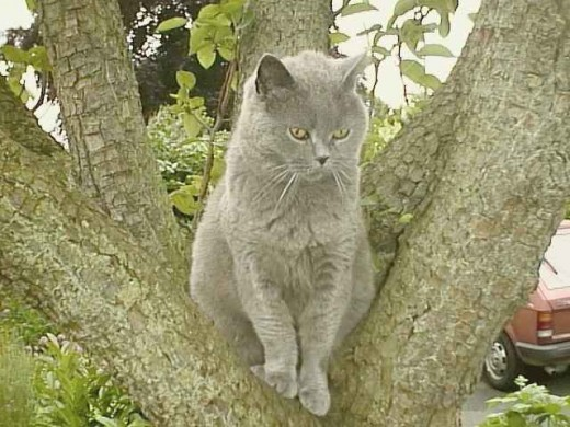 Talisker - a British Blue, and proud of it!