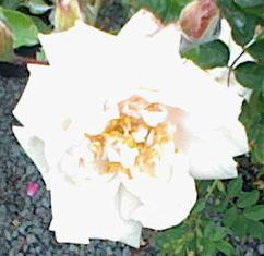 White Rose - Purity, Innocence, Silence