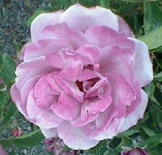 Purple Rose - Enchantment, Fallen in Love