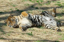 Tiger Belly