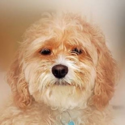 The Cockapoo: One Of America's Favorite Mixed Dog Breeds