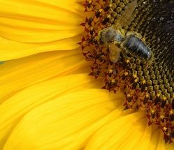 digital cat on flickr captured this amazing photo of a pollinator in action.  CC license.