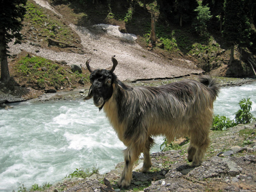 A goat by a stream