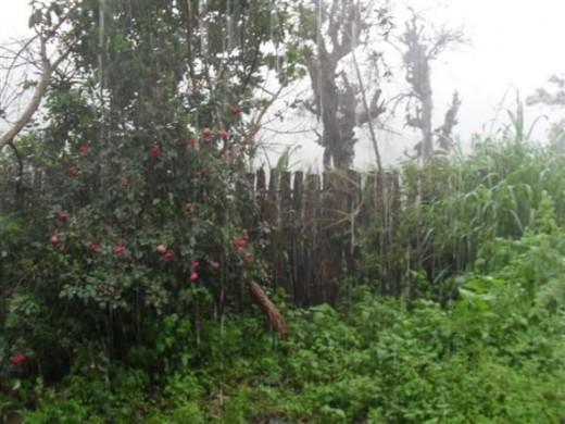 tall rose bush in the rain