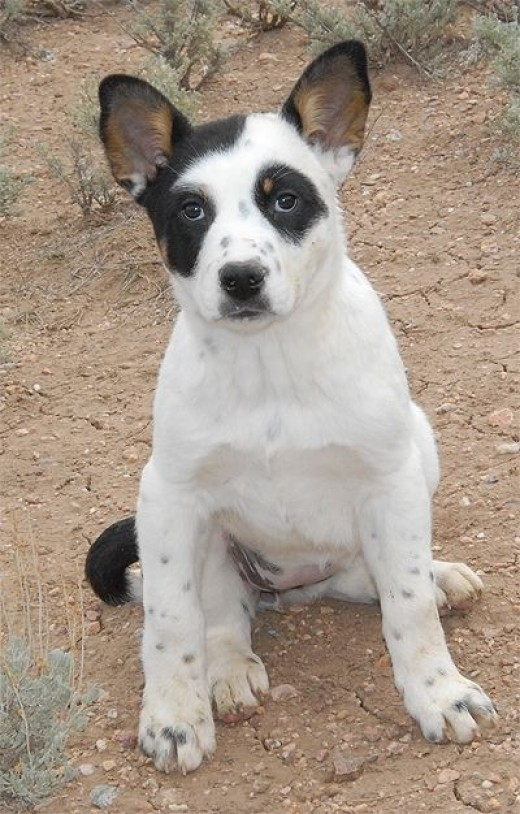 Melissa is a super sweet Heeler/Aussie mix puppy (about 10-11 weeks old).