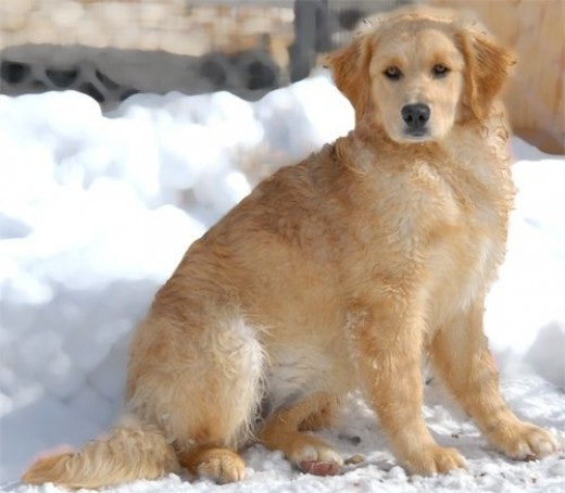 Golden Girl was adopted 3/2/13!
