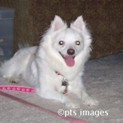 American Eskimo Dog Eskie Heart Bandits