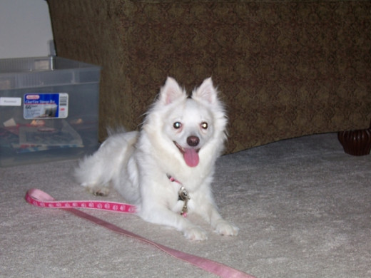 Bailey American Eskimo Dog