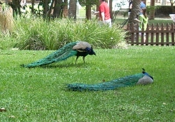 Peacocks at the Fountain of Youth Florida