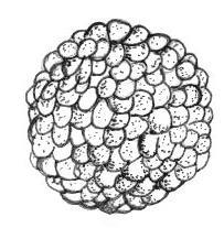 Blastula