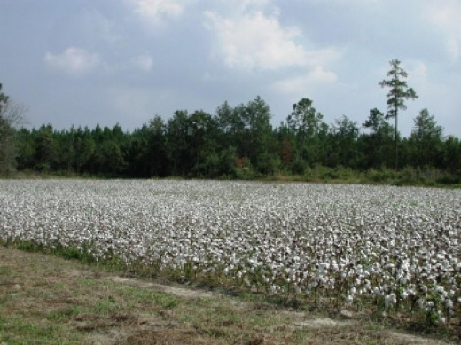 Cotton is one of South Carolina's key crops.