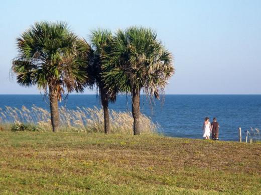 Palmetto Trees on the coast