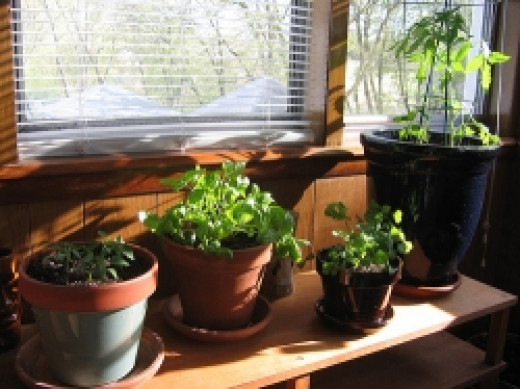 How to grow vegetables indoors hubpages - Growing vegetables indoors practical tips ...