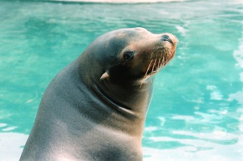 Picture of a Sea Lion