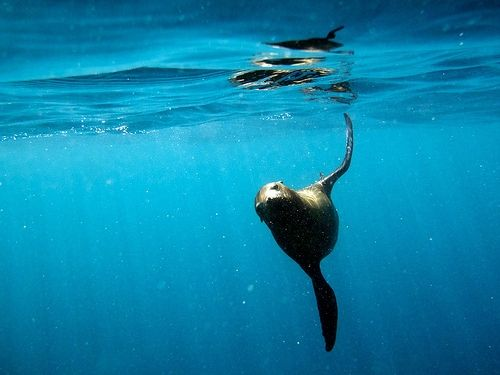 Sea Lion Swimming