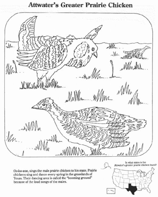 Prairie Chicken Image