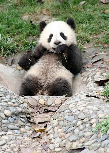 Endangered Giant Panda