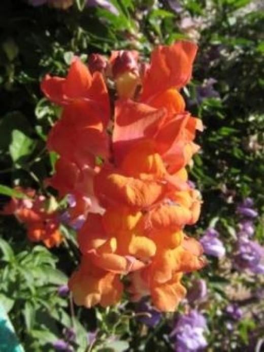 Orange Snapdragon