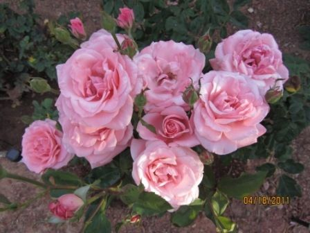 Queen Elizabeth Tea Rose