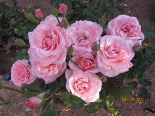 Queen Elizabeth Tea Rose