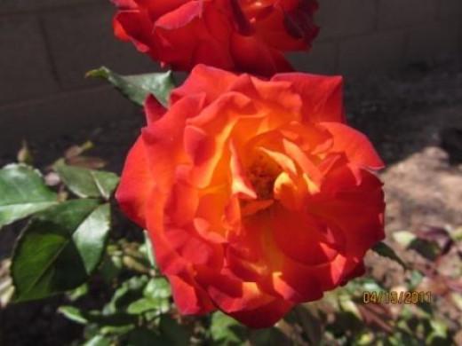 Charisma Rose