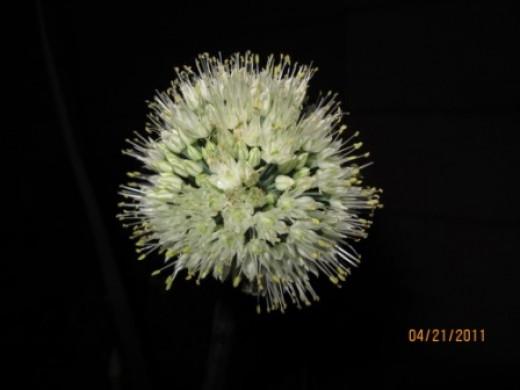Onion Flower at Night